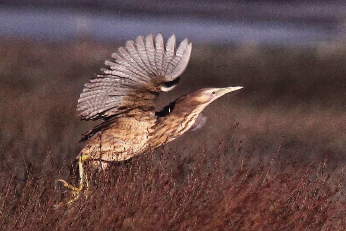 Australasian Bittern taking flight