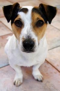 Closeup shot of a fox terrier type dog