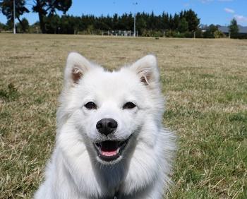 Samoyed dog in Rolleston dog park