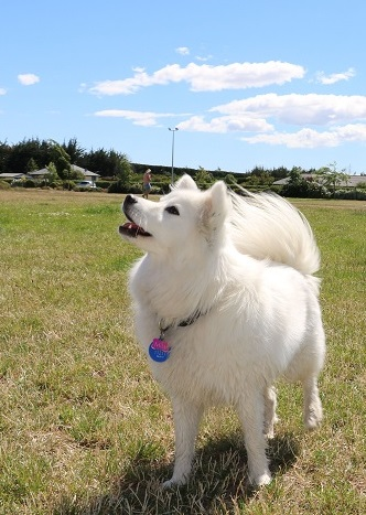 A white dog in Foster Dog Park