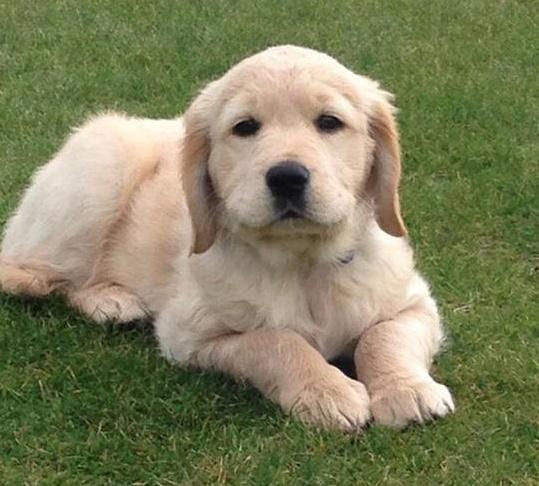 A Labrador retriever puppy lying on some grass
