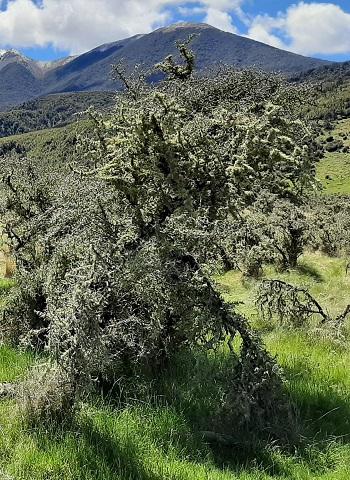 Matagouri bush