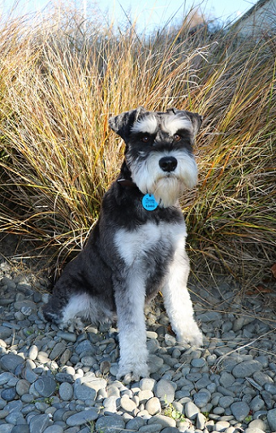 A miniature schnauzer wearing the blue One Tag