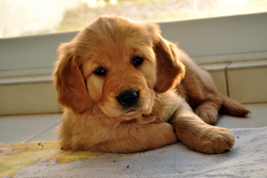 Stock image - puppy