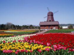 yubetsu-tulips