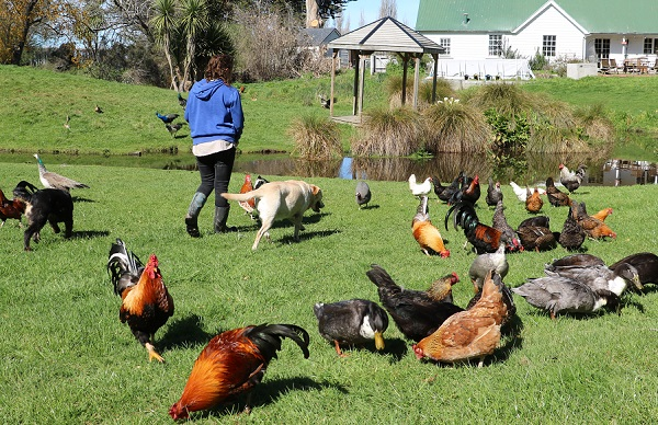 A woman in a blue hoodie walks with a labrador among a crowd of chickens and ducks