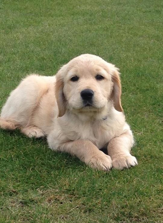 A golden retriever puppy sits on a lawn