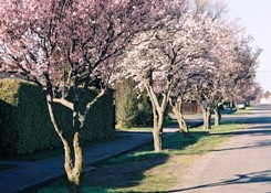 Prunus-blossom-Leeston-sml