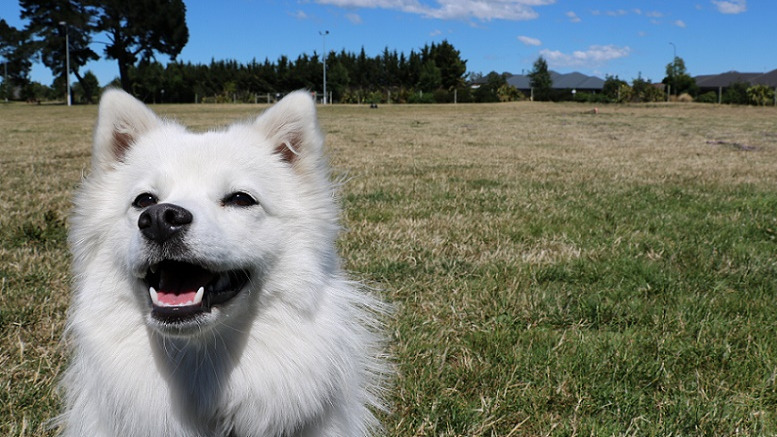 Close up showing the head and upper body of a white japanese spitz sitting in a park