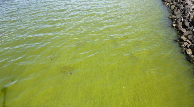 Planktonic Cyanobacteia